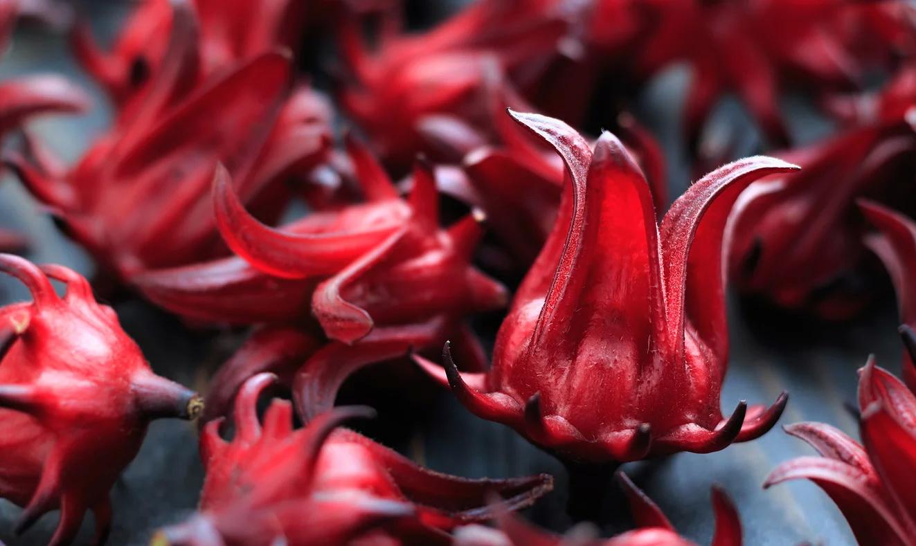 Hibiscus 51
